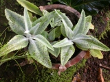 Local Name: Rakes pan